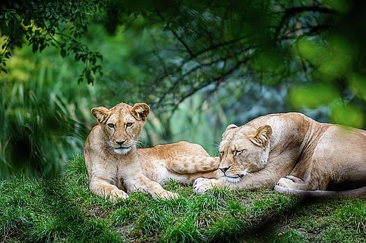 Two female lions by Libor Vrska