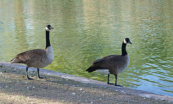 Two Geese. by Robert Rodda