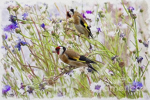 Two Goldfinches by Tanya C Smith