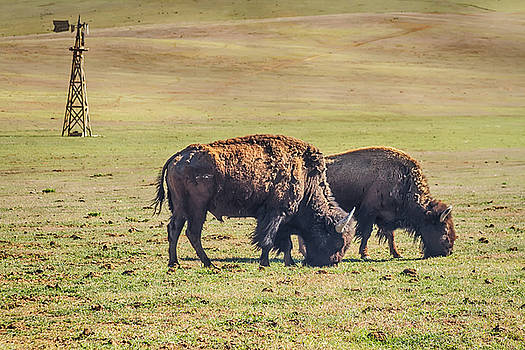 James BO  Insogna - Two Grazing Buffaloes on The Range