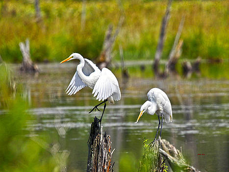 Two Great Egrets by John Stoj