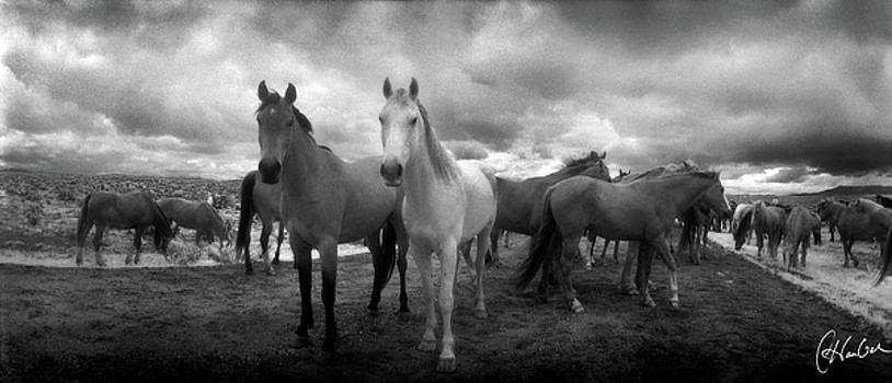 Two Horses Looking by Christine Hauber