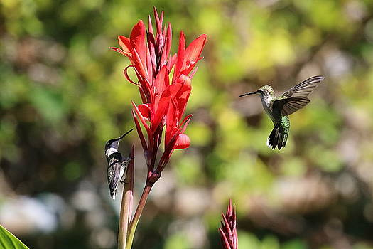 Two Hummers by DVP Artography