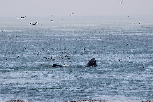 Gary Canant - Two Humpback whales feeding