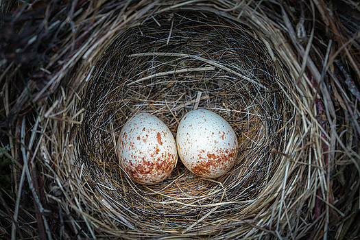 Two junco eggs in the nest by William Freebilly photography