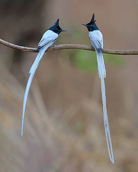 Two King,,,, Paradise Flycatcher by Raj Dhage