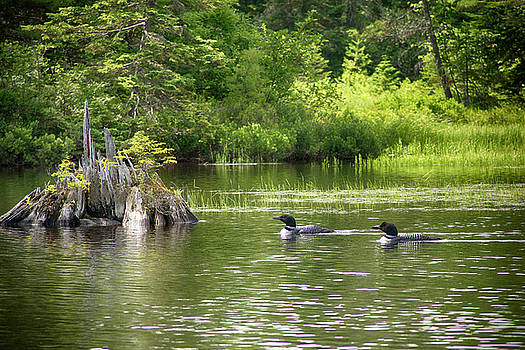 Two Loons Near Old Stump by Justin Mountain