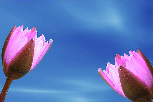 Two Lotus Flower by Ridwan Photography