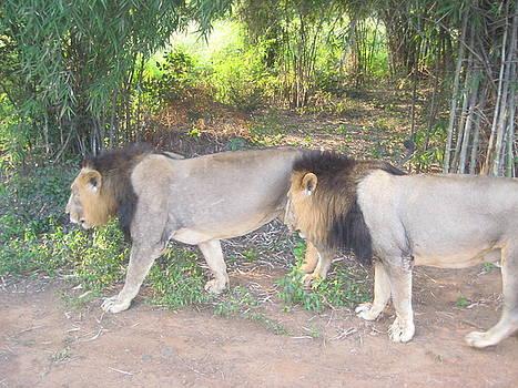 Two Male Lions by Siddarth Rai