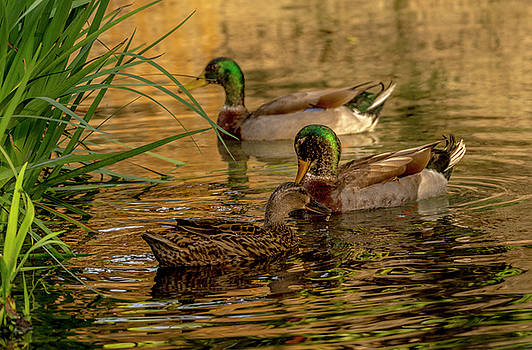 Two Male Mallards after one Female by Tito Santiago