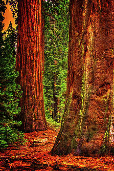 Two Mature Sequoias in Grant's Grove by Roger Passman