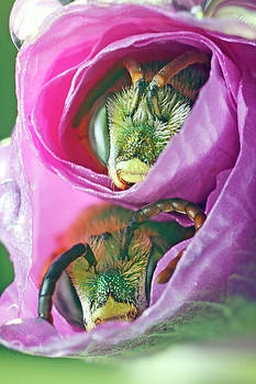 Two Metallic Green Bees Rolled Up in a Pink Flowers Petals by Scott Leslie
