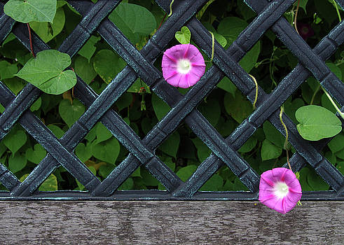 Two Morning Glories And Bench by Don White