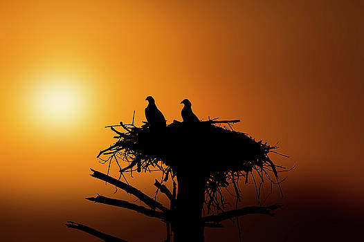 Two osprey chicks waiting for evening snack by Dan Friend