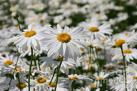 Two oxeye daisies 'Leucanthemum vulgare' in front of a whole fie by Paul Koomen