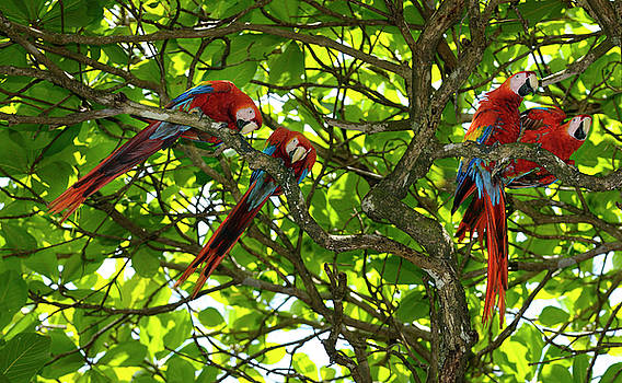 Reimar Gaertner - Two pairs of Scarlet Macaws in an Almond tree in Carate Costa Ri
