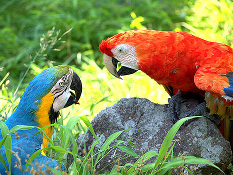 Two Parrots by Rachel Mirror