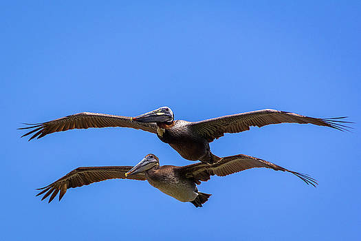 Two Pelicans Over the Beach by Randy Bayne