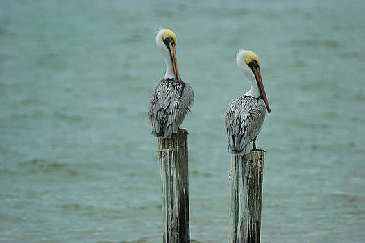 Two Pelicans by Rosalin Moss