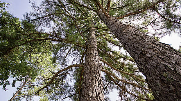 Two Pines by Robert Meyerson