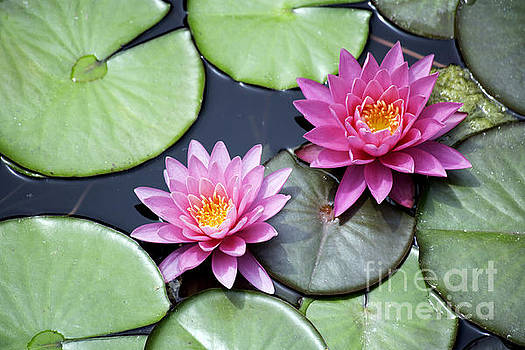Two Pink Water Lilies by Denise Woldring