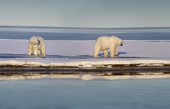Reimar Gaertner - Two polar bears on snow covered Barter Island Kaktovik Alaska on