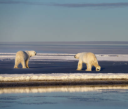 Reimar Gaertner - Two polar bears one showing foot pad on ice at Barter Island Kak