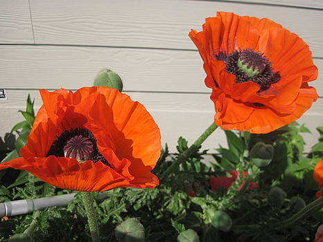 Two Poppies by Barbara Harris
