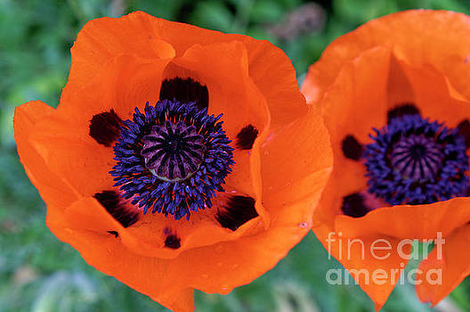 Two Poppies by John  Mitchell