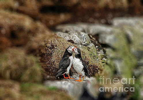 Two puffins in love by Patricia Hofmeester