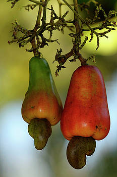 Reimar Gaertner - Two red crab apples of the cashew tree fruit with seed nuts