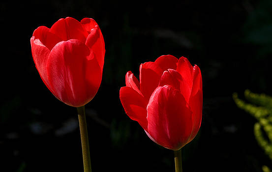 Two Red Tulips by Steve Augustin