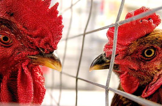 Two Roosters by Mark Stevenson