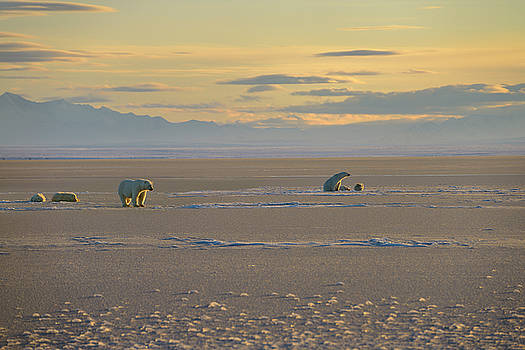 Reimar Gaertner - Two sets of Polar Bear sow and cubs on Kaktovik Lagoon Alaska wi