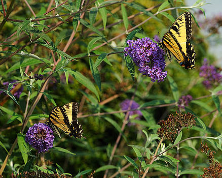 Edward Sobuta - Two Swallowtail Butterflies 2