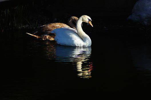 Two Swans by Nik Watt