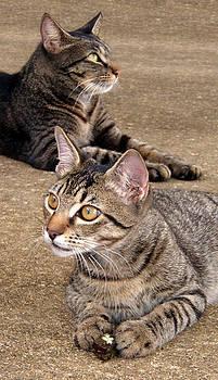 Nicole I Hamilton - Two Tabby Cats
