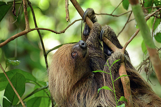 Harvey Barrison - Two-toed Sloth in the Fundo Casual