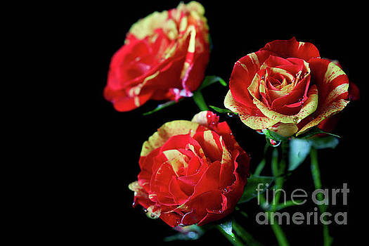 Two Tone Roses by Tracy Hall