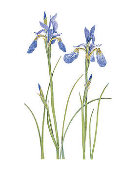 Two Wild Irises by Linda Wolfe
