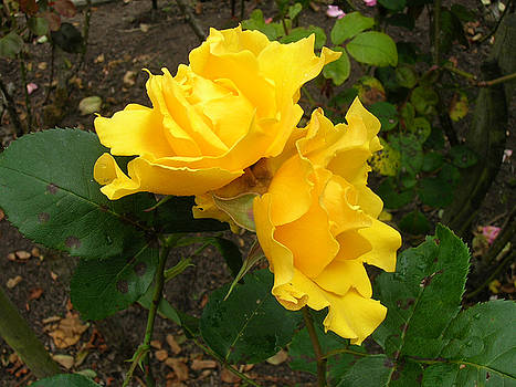 Two Yellow Roses by Carolyn Donnell