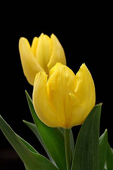 Two Yellow Tulips on Black by Sheila Brown