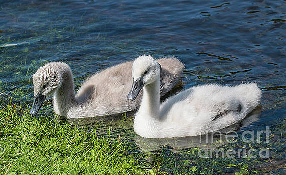 Two young cygnets of mute swan swimming in a lake by Amanda Mohler