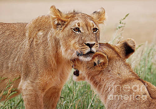 Two young lions, Africa wildlife by Wibke W
