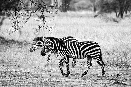 Two Zebras Walking by Sally Weigand