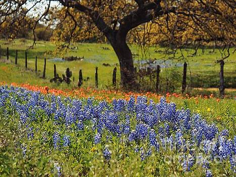 TX Tradition, Bluebonnets by Lisa Spencer