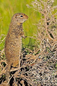 Uinta Squirrel by Natural Focal Point Photography