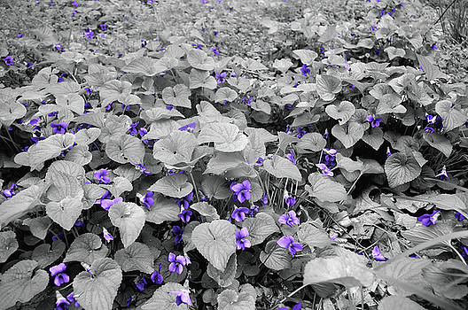 Susan Maxwell Schmidt - Ultra Violets