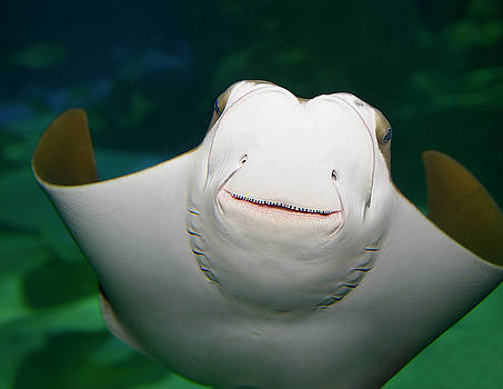 Reimar Gaertner - Underside and face of a smiling Stingray in an aquarium
