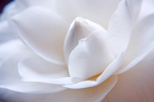 Unfolding Camellia by Julia Hiebaum